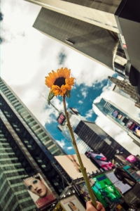 A complimentary sunflower, given out by the event, against the city